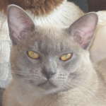 A Blue Burmese cat