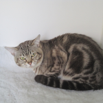 An Asian Brown Classic Tabby cat
