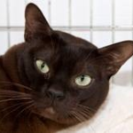 A brown Burmese cat