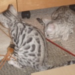 Two Silver spotted Bengal kittens