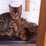 Two One Brown Spotted/Rosetted Bengal kittens