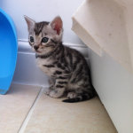 One Silver spotted Bengal kitten