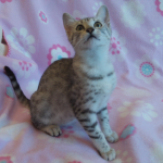 An Egyptian Mau kitten