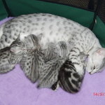 A litter of Egyptian Mau kittens