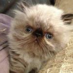 A Himalayan Persian kitten