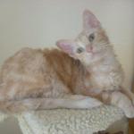 A LaPerm kitten