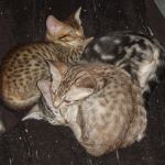 Three Ocicat kittens curled up together