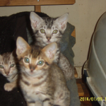 Three Ocicat kittens facing the camera