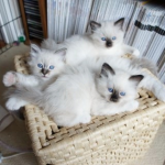 A litter of Birman kittens